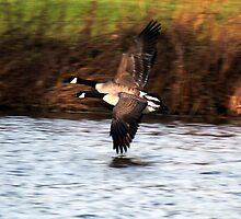 Canada Geese in Flight by AngelaFoster