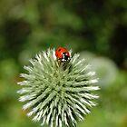 Ladybug by photojeanic