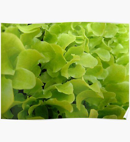 Farm Fresh Lettuce Poster