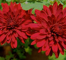 Red Invasion - Red Mums by Stephanie Hall