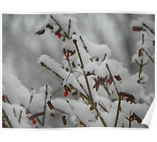 Burning Bush with a Fluffy Dusting of Snow Poster