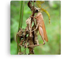 Carolina Locust on Dry Spanish Needles Canvas Print