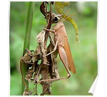 Carolina Locust on Dry Spanish Needles Poster