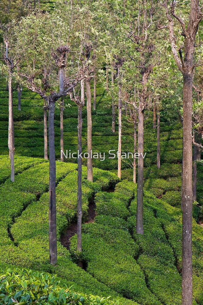 Tea Plantation by Nickolay Stanev