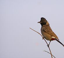 Bulbul ~ The singing bird by Dhaval Shah