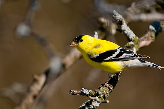 Male Gold Finch, Ottawa, Ontario by Michael Cummings
