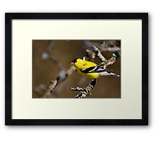 Male Gold Finch, Ottawa, Ontario Framed Print