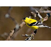 Male Gold Finch, Ottawa, Ontario Photographic Print