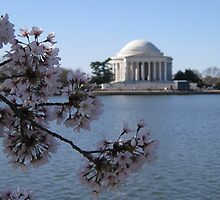 Cherry Blossoms by KellyDC