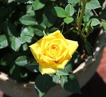 A Miniature Yellow Rose by Dennis Melling
