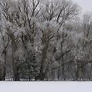 Frosty Morning Trees by kkphoto1