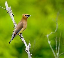 Cedar Waxwing - Ottawa Ontario by Michael Cummings