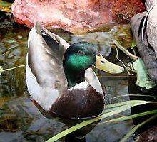 Duck by Jennifer Chan