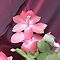 Pink Christmas Cactus in Bloom by livinginoz