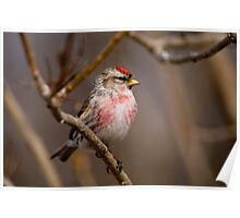 Male Common Redpoll - Shirley's Bay, Ottawa, Ontario Poster