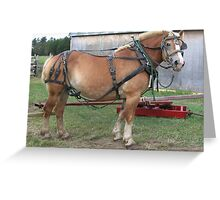 Belgian Horse in Harness Greeting Card