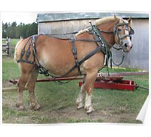 Belgian Horse in Harness Poster