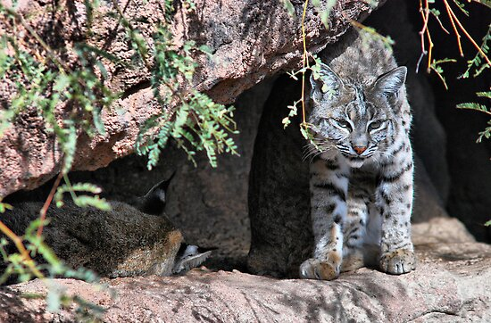 Bobcat in the Desert by Barbara Manis