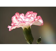 January's flower  Photographic Print