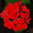 Suzie's Royal Red by Kylie Van Ingen