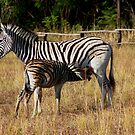 Stripes and baby stripes by Shaun Swanepoel