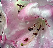 Raindrops on Rhodies by TeresaB
