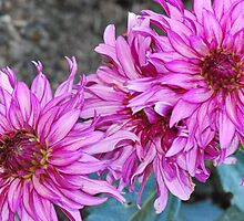 Gorgeous Dahlia's by MissyD
