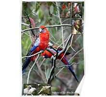 Parrots of the Blue Mountains Poster
