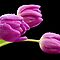 Tulips with droplets