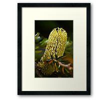 Banksia Flower Spike Framed Print