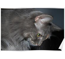 Mia The Maine Coon Cat Poster