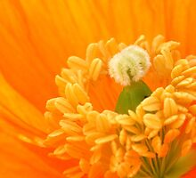 Orange Poppy by Ray Clarke