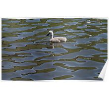 Lonely Cygnet Poster