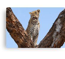 Female leopard, Okavango Delta Canvas Print