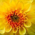 Yellow Dahlia by Alana Ranney