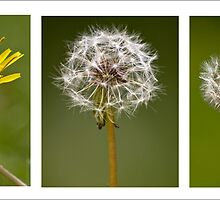 Dandelion Triptych by AloneImages