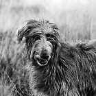 Bo the Deerhound Black and White by Michelle Lovegrove