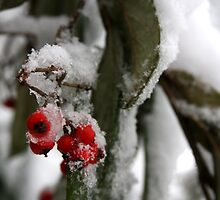 Snow Berries by Andy Mays