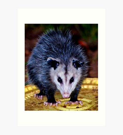 Backyard Opossum Art Print