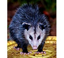 Backyard Opossum Photographic Print