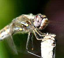 Up Close with a Purple Eyed Dragonfly by DARRIN ALDRIDGE