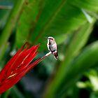 Heavenly Hummingbird on Heliconia by DARRIN ALDRIDGE
