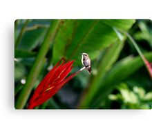Heavenly Hummingbird on Heliconia Canvas Print