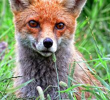 Curious Fox Cub by Sally Green