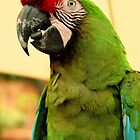 Military Macaw by Micci Shannon
