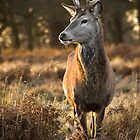 Stag at Sunset by Peter Denness