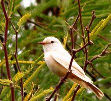 Vermilion Flycatcher (Leucistic) by Kimberly Chadwick