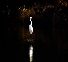 Egret, Manly Lagoon, Sydney Australia by Bill  Russo