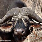 """""""IN PORTRAIT"""" of the older BUFFALO - *Syncerus caffer* by Magriet Meintjes"""