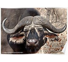 """IN PORTRAIT"" of the older BUFFALO - *Syncerus caffer* Poster"
